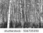 birch forest background  black... | Shutterstock . vector #536735350