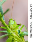 Small photo of Cute Long-horned grasshoppers, or Tettigoniidae, or leafhopper perching on green leaves and green background