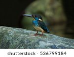 Small photo of A beautiful Blue-banded Kingfisher(Albedo euryzona)with nature background standing on the rock in the nature,water bird,colourful bird,Southern Thailand in tropical rainforests near lake shores