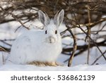 White Snowshoe Hare Or Varying...
