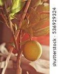 lemon tree   Shutterstock . vector #536929324
