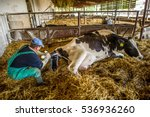 farmer helps a cow give birth... | Shutterstock . vector #536936260