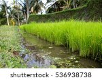 rice fields indonesia | Shutterstock . vector #536938738