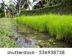 rice fields indonesia   Shutterstock . vector #536938738