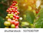robusta coffee farm and...   Shutterstock . vector #537030709