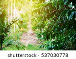 robusta coffee farm and... | Shutterstock . vector #537030778