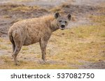 hyena is watching you  on... | Shutterstock . vector #537082750