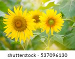 Sunflower Yellow Flowers ...