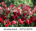 tulip | Shutterstock . vector #537113374