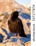 Small photo of Black mountain bird (Pyrrhocorax graculus, alpine chough) in the morning light