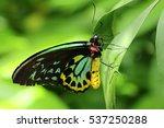 Cairns Birdwing Butterfly...
