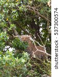 Small photo of Leopard waiting prey. Ambush. On branch. Masai Mara, Kenya