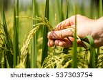 Agriculture  Woman Hand...