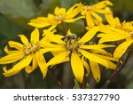 close up of honey bee on yellow ... | Shutterstock . vector #537327790