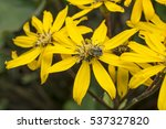 bumblebee on yellow garden... | Shutterstock . vector #537327820