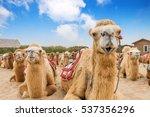 bactrian camels resting in gobi ... | Shutterstock . vector #537356296