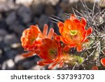 beautiful blooming wild desert... | Shutterstock . vector #537393703