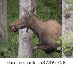 Small photo of Alaskan Moose