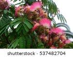 Mimosa  Fabaceae  In Bloom ...