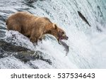 Brown Bear Catches A Salmon In...