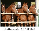 Stock photo purebred anglo arabian chestnut horses standing at the barn door 537535378