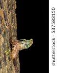 newly emerge cicada at night... | Shutterstock . vector #537583150