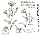 calendula plant  botanical... | Shutterstock .eps vector #537585280