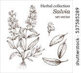 salvia  plant  botanical...   Shutterstock .eps vector #537585289