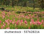 Siam Tulip Krajeo Field Pa Hin...