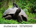 Stock photo galapagos giant tortoise 537690343