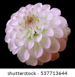 Flower White Red Dahlia  Black...