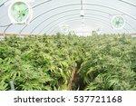 commercial marijuana... | Shutterstock . vector #537721168