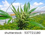 marijuana plant blue sky... | Shutterstock . vector #537721180