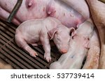 Newborn Piglets Fed Milk From...