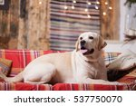 a new year dog photo session on ... | Shutterstock . vector #537750070