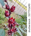 Small photo of Roselle,red Roselle flowers in the garden