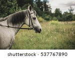 grey horse head in summer green ... | Shutterstock . vector #537767890