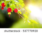 Small photo of Abutilon megapotamicum. beautiful branch on green sunlight background