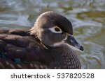 Small photo of Carolina duck (Aix sponsa)