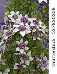 flowering clematis florida ... | Shutterstock . vector #537830308