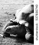 Small photo of Aldabra tortoise in black and white - close up
