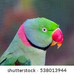Small photo of The Alexandrine parakeet or Alexandrian parrot. It is named after Alexander the Great, who exported numerous specimens of this bird from Punjab into various European and Mediterranean countries.