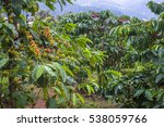 coffee farm in da lat  viet nam. | Shutterstock . vector #538059766