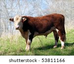 A  Polled Hereford Bull