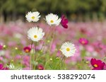 beautiful cosmos.   Shutterstock . vector #538292074