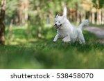 White Samoyed Dog.