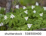 Anemone Nemorosa  Wood Anemone...