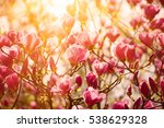 blossoming of magnolia flowers... | Shutterstock . vector #538629328
