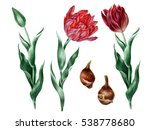 Watercolor Set Of Red Tulips...