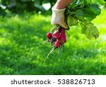 hand holding bunch of organic... | Shutterstock . vector #538826713